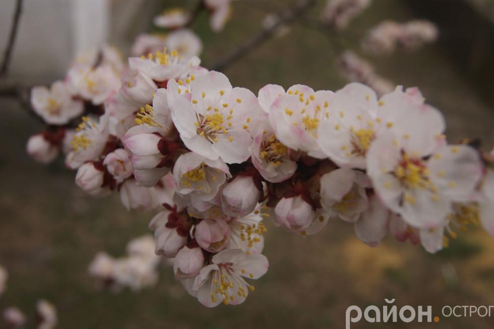 Після цвіту гілки потішать плодом