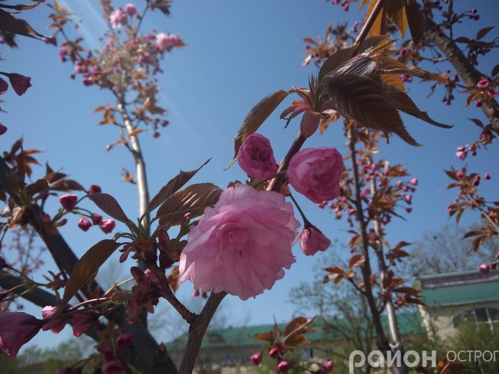 Квіти сакури поміж дрібного листя