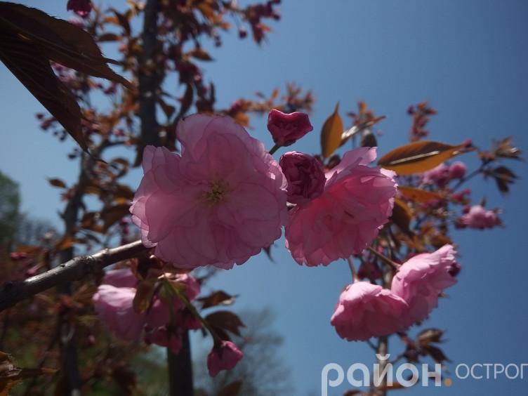 В Острозькій академії квітують сакури
