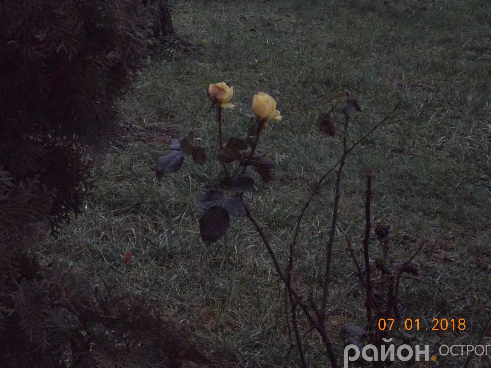 Розцвіли жовті троянди
