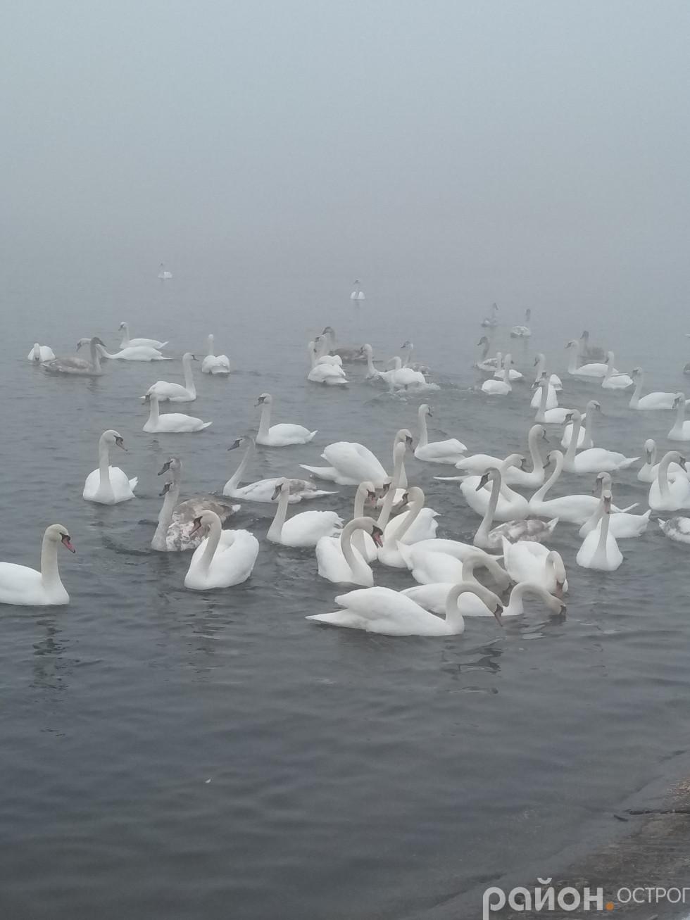 Лебеді гуртом чекають частування