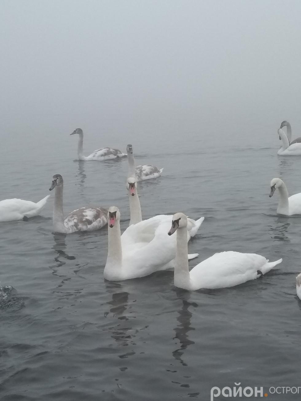 Молоді лебеді (зі сірим забарвленням) не відстають від дорослих птахів