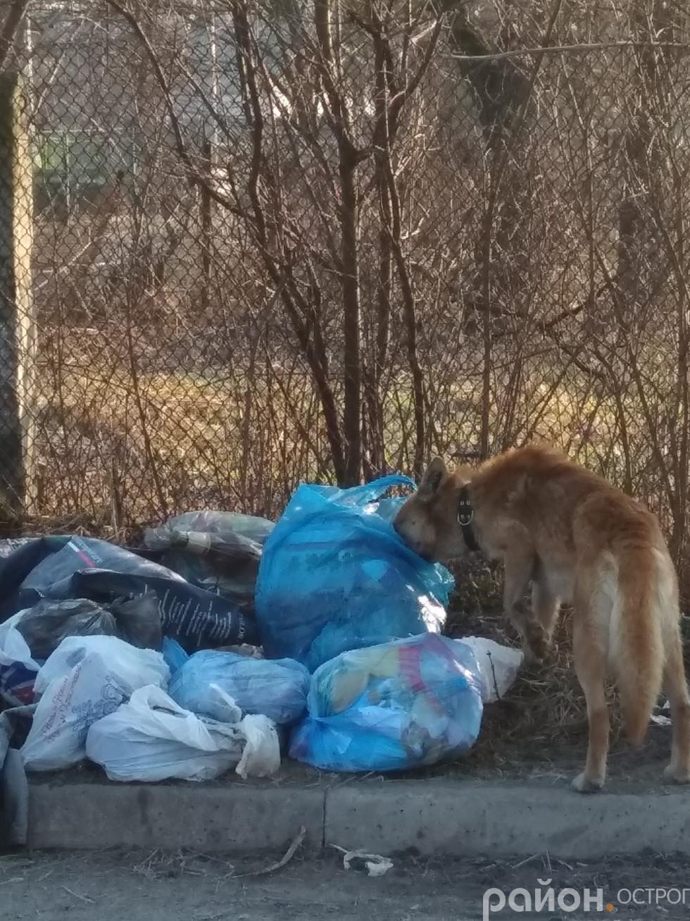 Пес хазяйнує у смітті навколо контейнерів