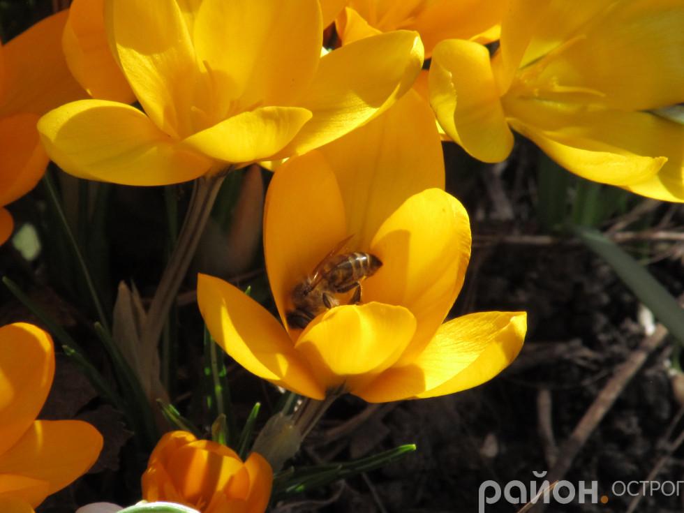 Квіти, схожі на краплинки сонця