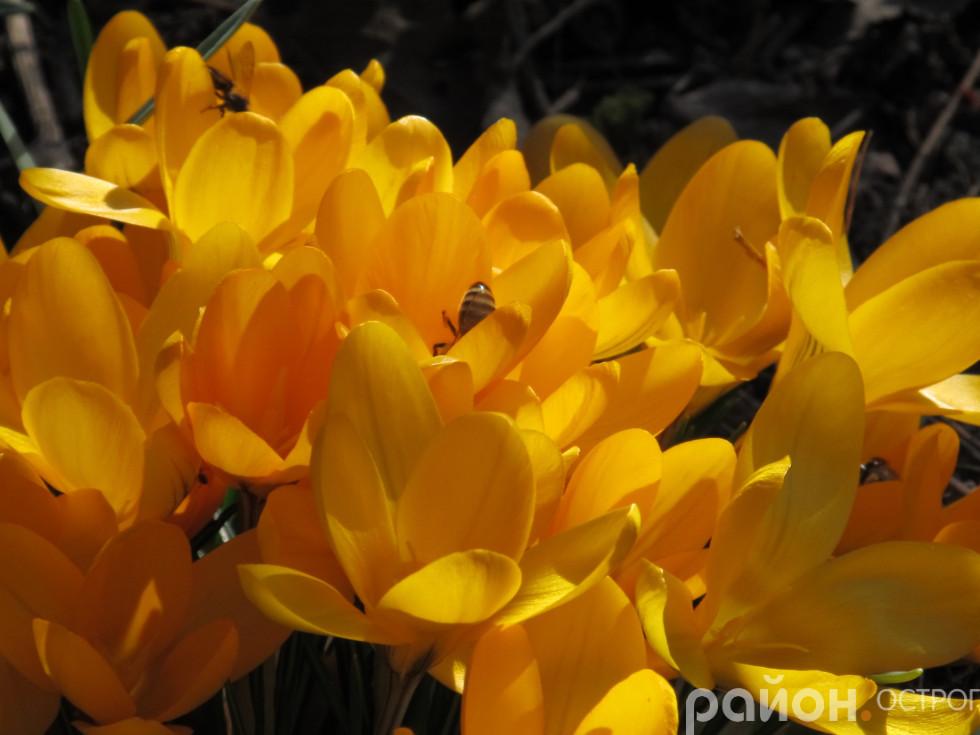 Бджілки не можуть натішитися першими квітами
