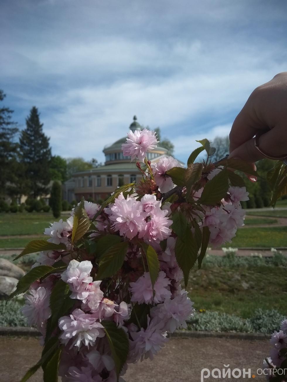 Довершена ніжність квітів сакури
