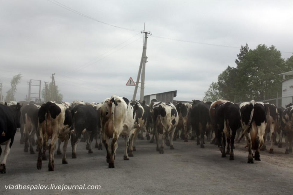 Шлях загородило стадо корів
